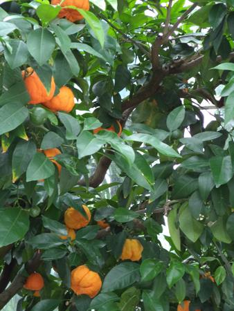 Orangen4