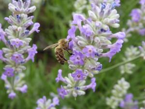 Lavendel 4